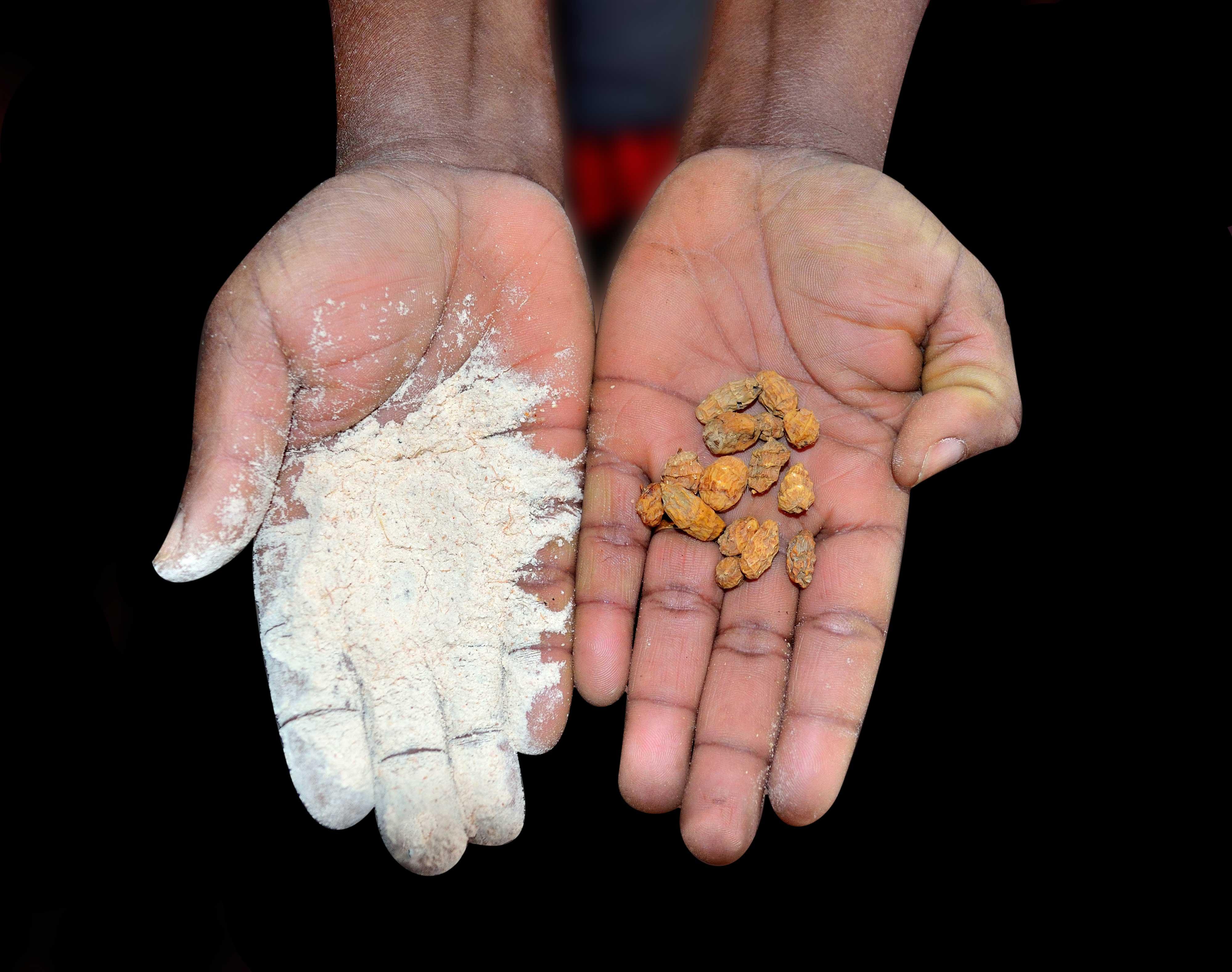 Photo de deux mains noires avec les semences et la poudre du fruit du baobab