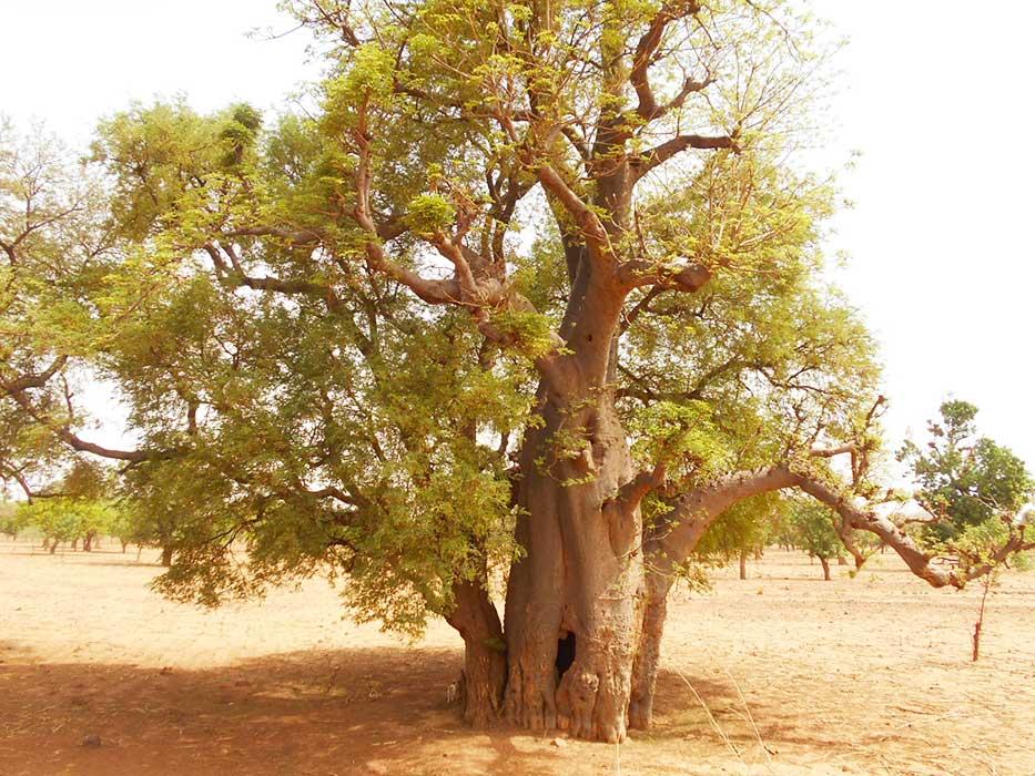 Photo d'un arbre du Baobab au Burkina Faso