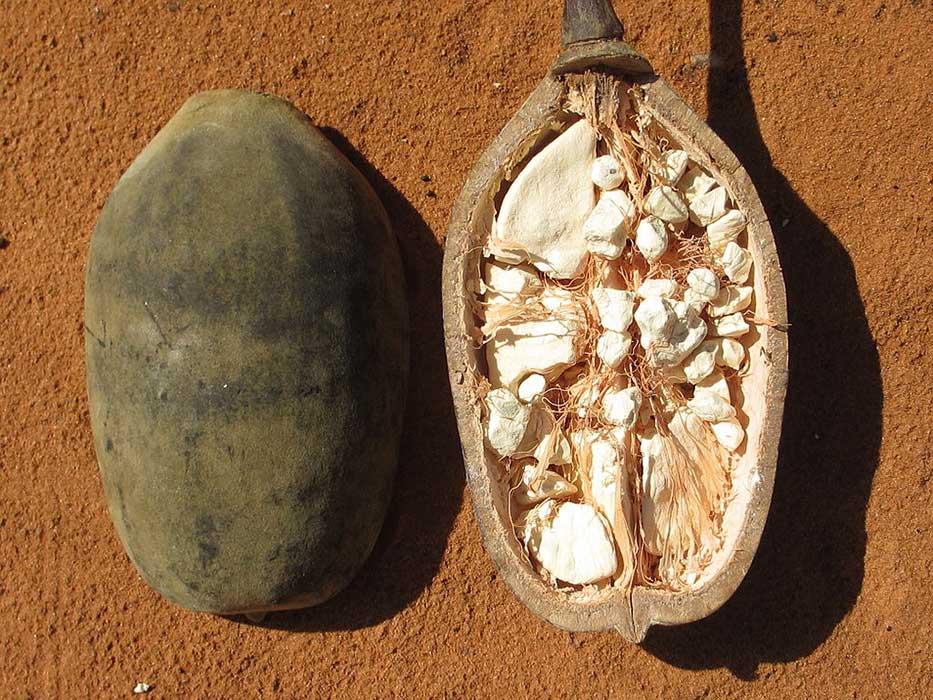 Photo de l'intérieur d'un fruit du baobab
